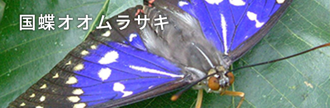 国蝶オオムラサキ